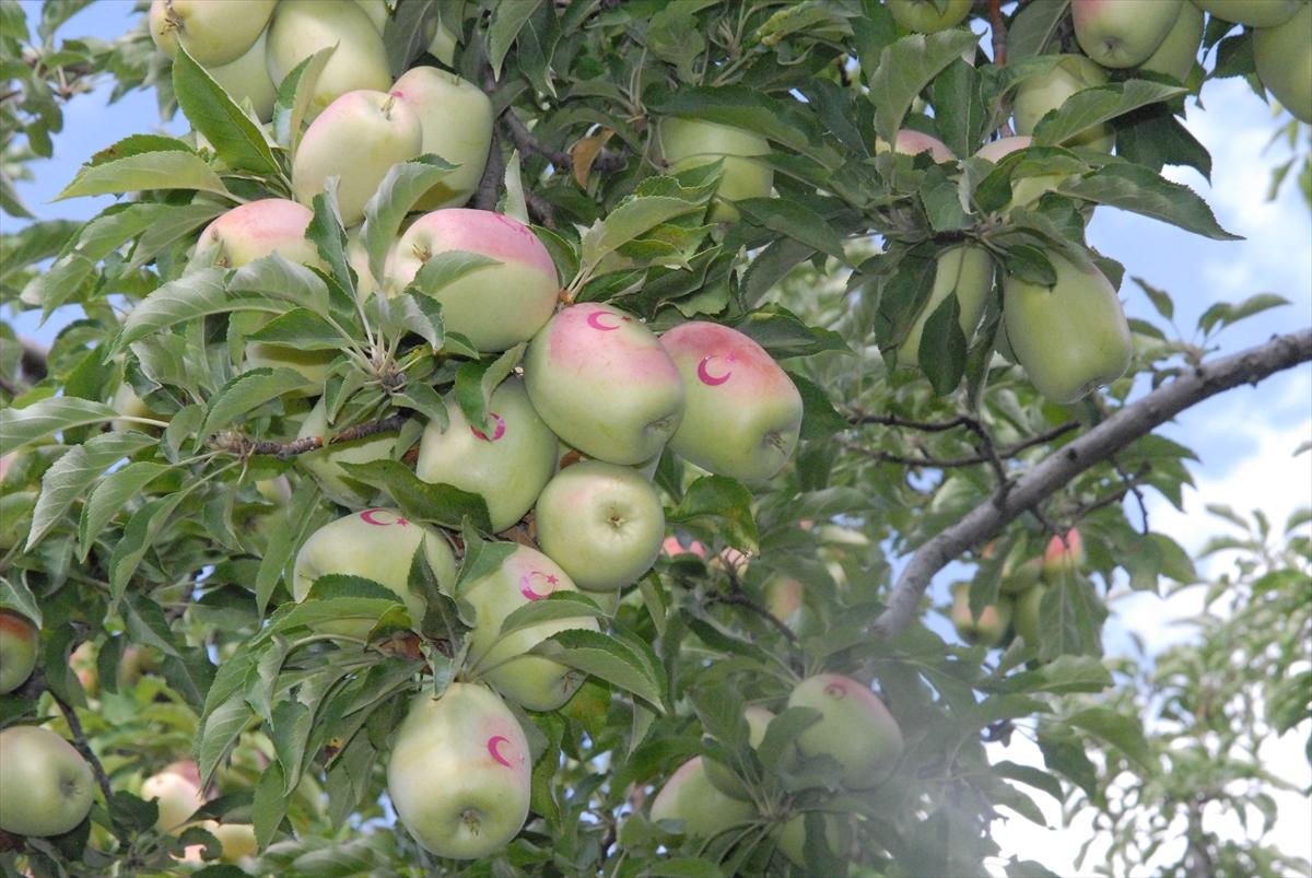 ay-yildizli-uzun-elmalar-ilgi-goruyor-(2).jpg