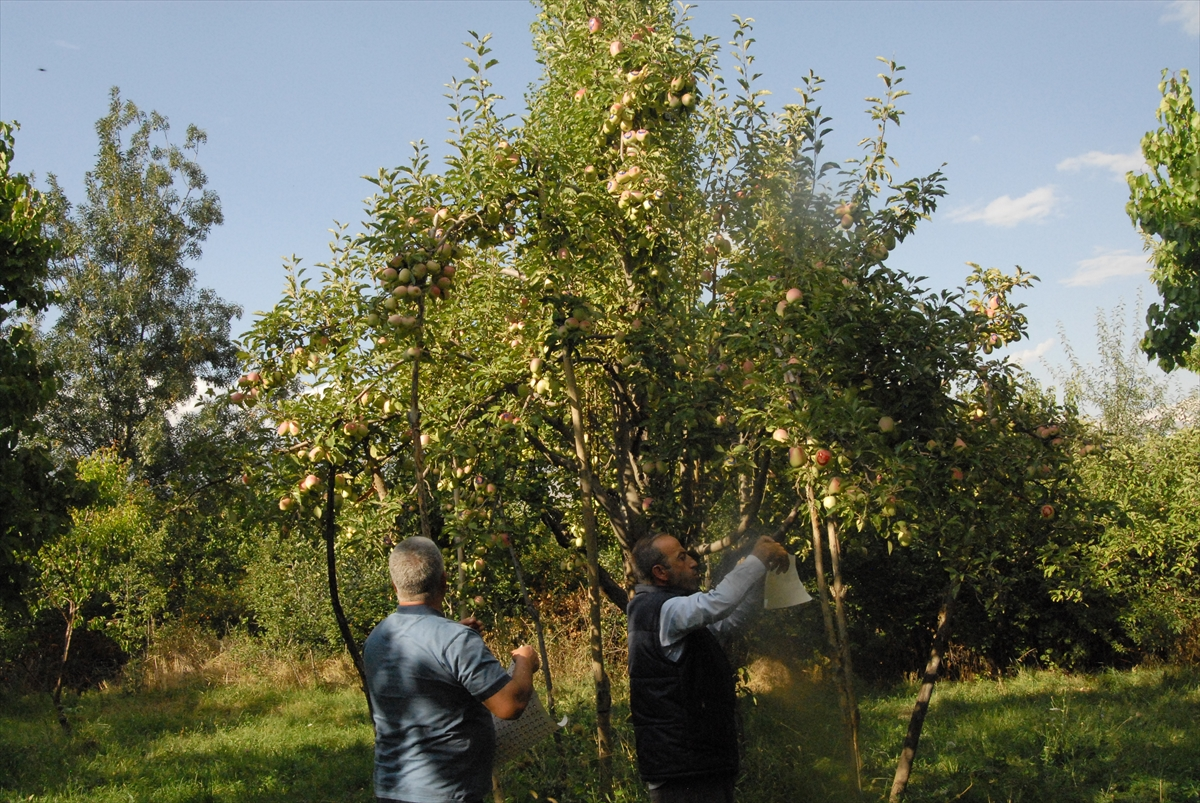 ay-yildizli-uzun-elmalar-ilgi-goruyor-(5).jpg