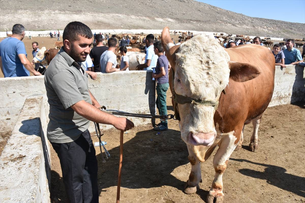 hayvan-pazarinin-krali-talisca-araba-fiyatina-satildi-(5).jpg