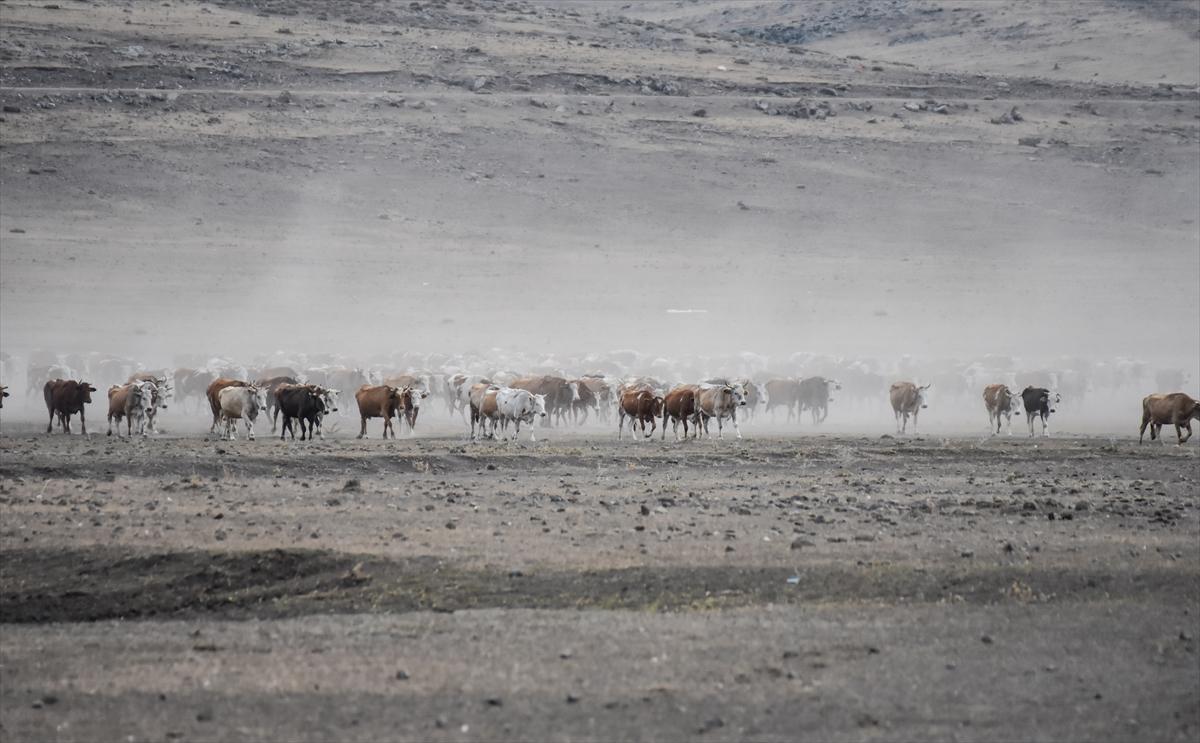 karsta-sut-ineklerinin-tozlu-yolculugu-(1).jpg