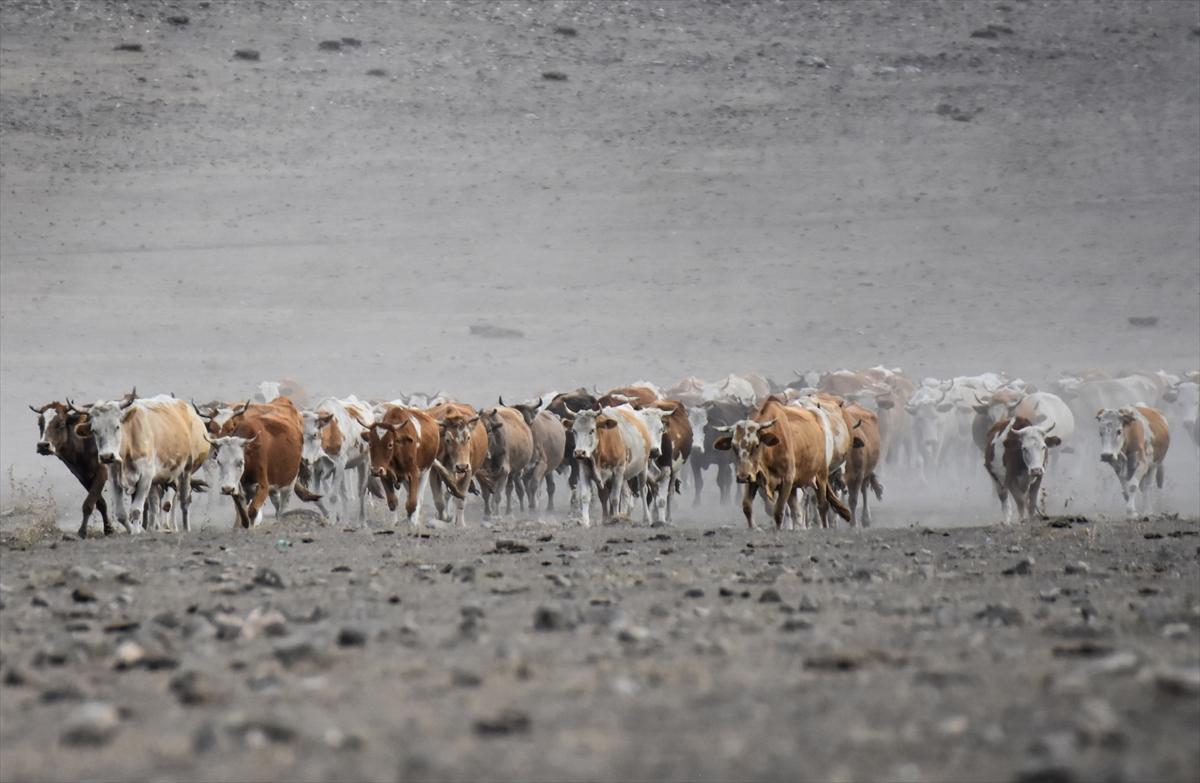 karsta-sut-ineklerinin-tozlu-yolculugu-(5).jpg