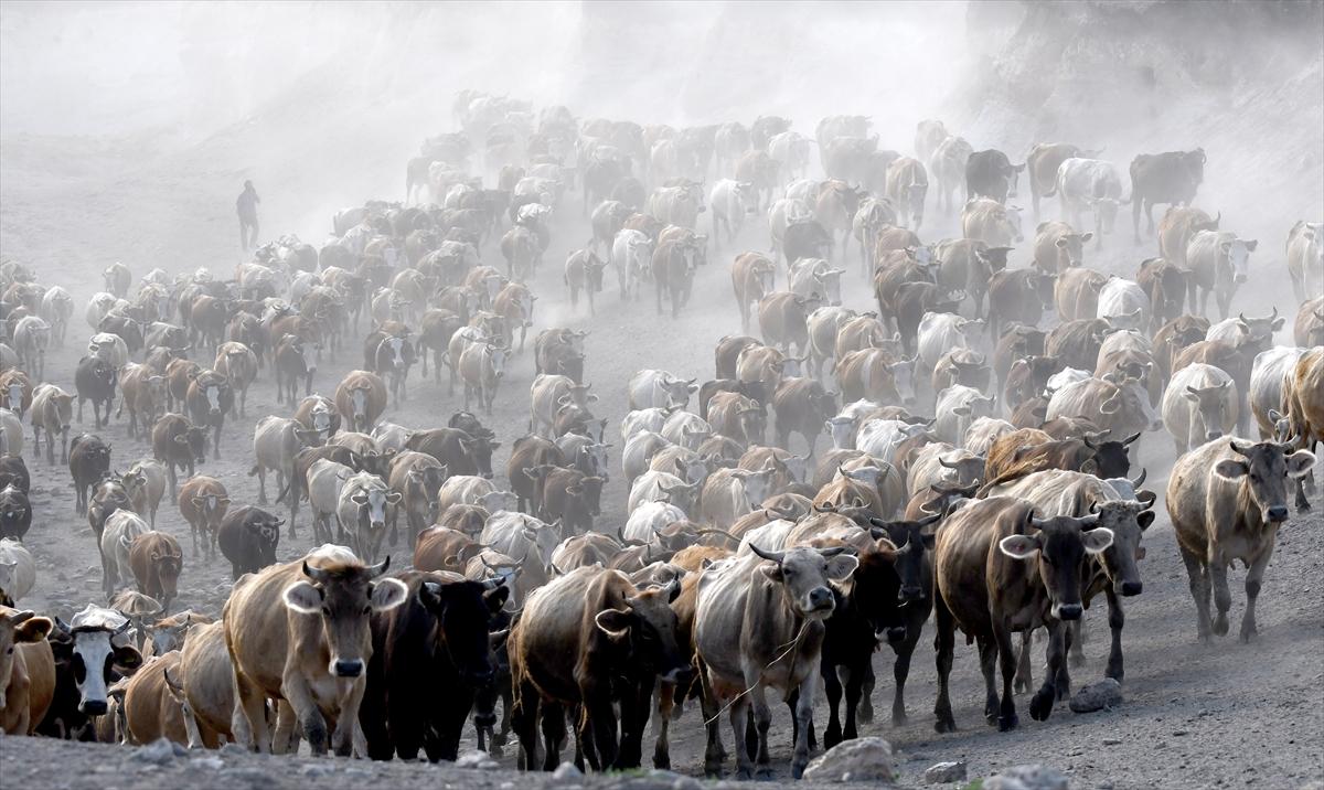 karsta-sut-ineklerinin-zorlu-yolculugu-(2).jpg