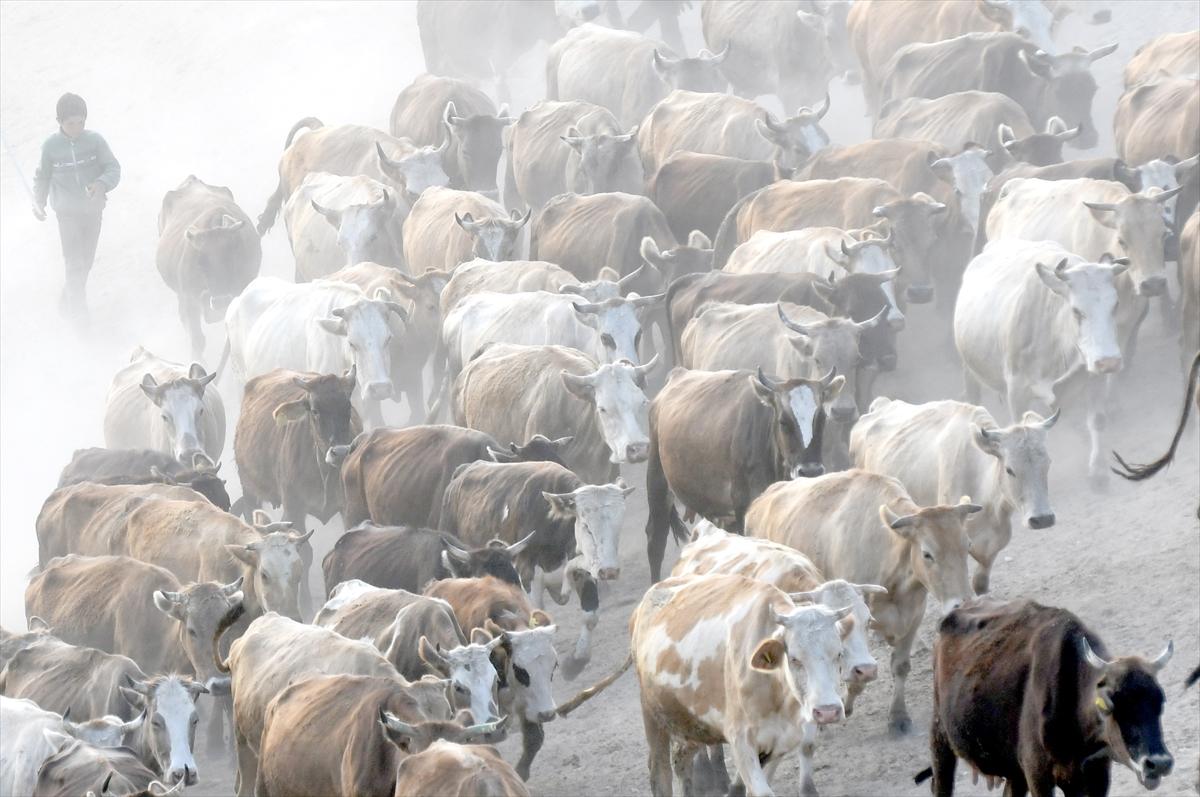 karsta-sut-ineklerinin-zorlu-yolculugu-(3).jpg