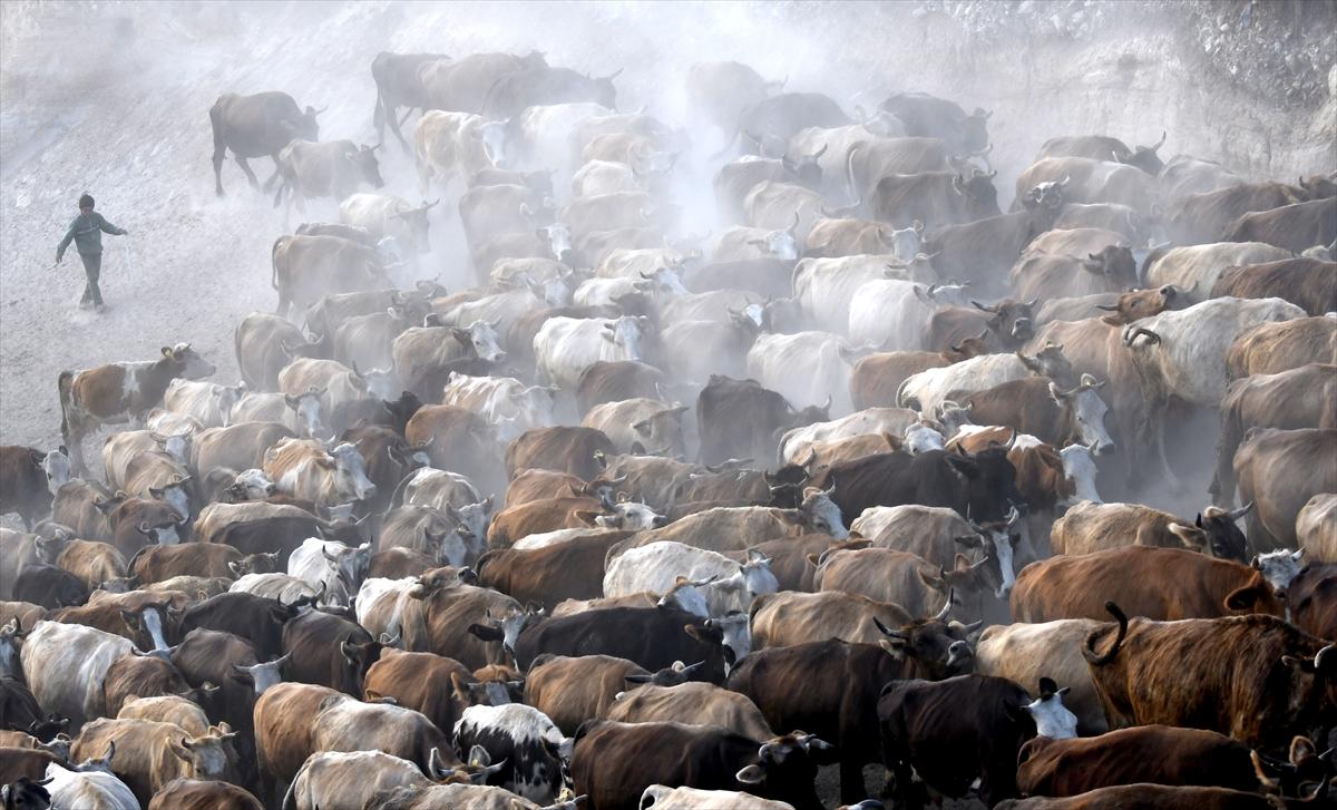 karsta-sut-ineklerinin-zorlu-yolculugu-(4).jpg
