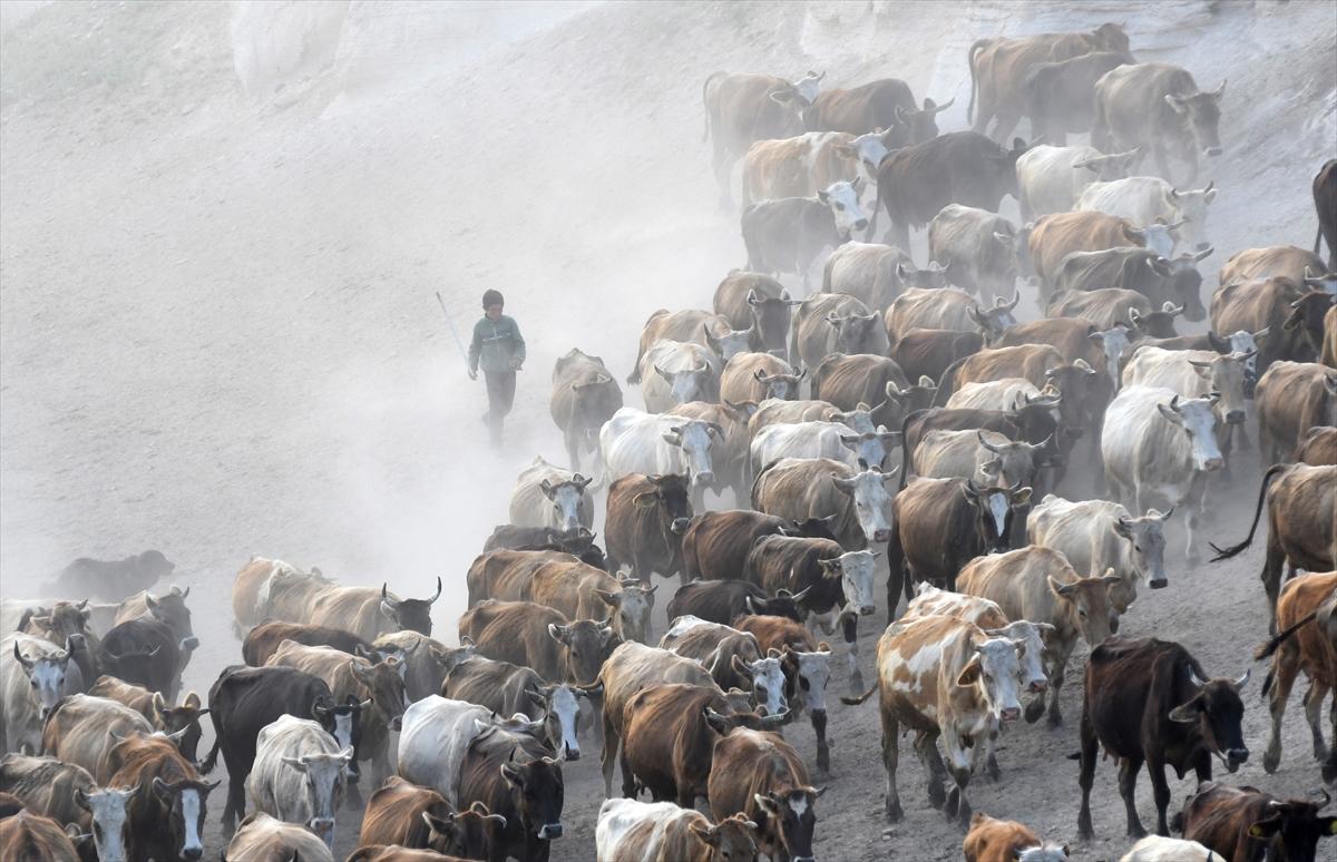 karsta-sut-ineklerinin-zorlu-yolculugu-(5).jpg