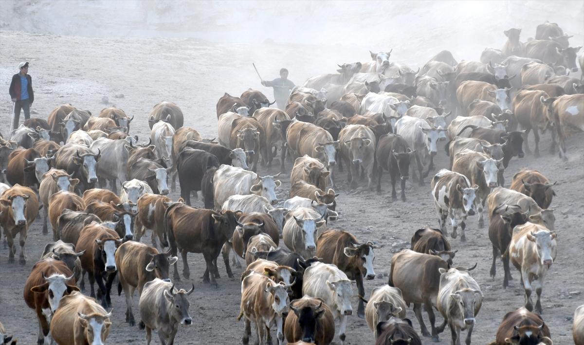 karsta-sut-ineklerinin-zorlu-yolculugu-(6).jpg