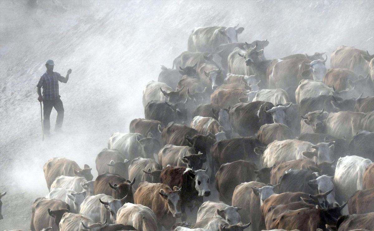 karsta-sut-ineklerinin-zorlu-yolculugu-(8).jpg