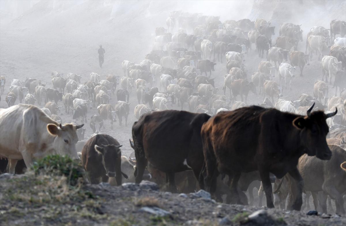 karsta-sut-ineklerinin-zorlu-yolculugu-(9).jpg